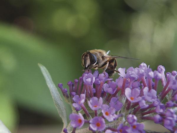 Böhling Biene